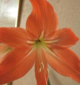 Комнатное растение Луковицы Амарилиса