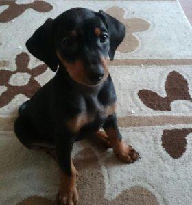 Немецкий пинчер щенки