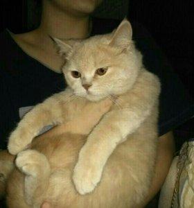 Кошка Британка