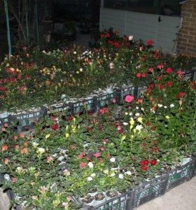 Розы оптом в контейнерах