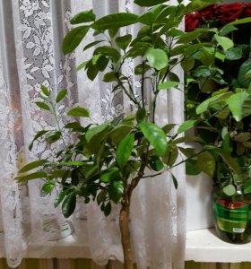 Мандариновое дерево и кумкват