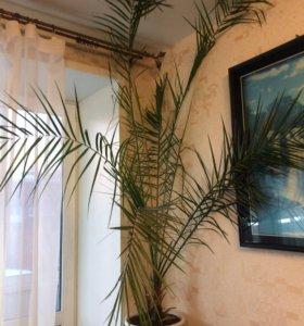 Очень красивая пальма