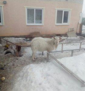 Заненский козел 1,5 года