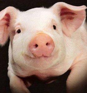 домашние свиньи 100-120кг
