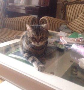 Британский кот мраморного окраса