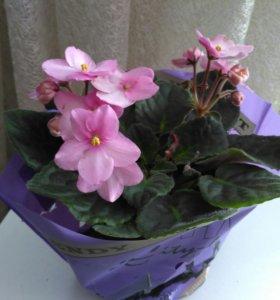 Фиалка (комнатное растение)
