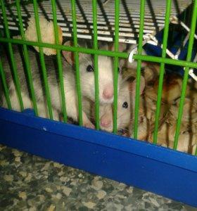 Продам маленьких крысят