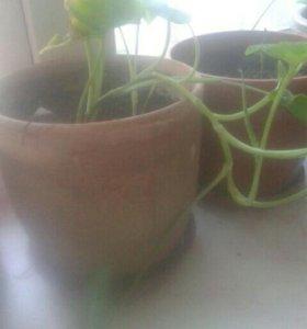 растение вьющиеся
