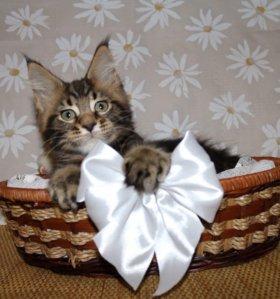 Настоящие котята Мейн кун