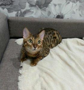 Вязка кот бенгал