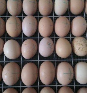 Живое яйцо! 🐣