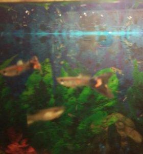 Рыбки гуппи (мальки)