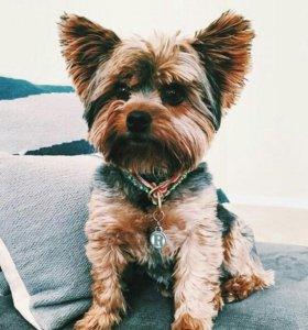 Вязка собаки Йорк