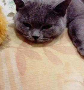 Кошка британиц