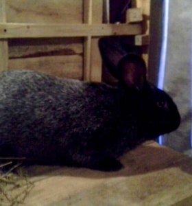 Кролик порода великан