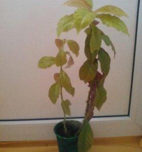 Лиственный кактус Переския