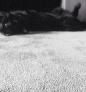 Кошка Ургатая прямоухая