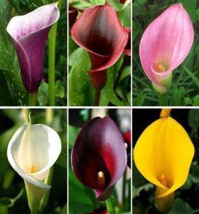 Клубни цветов