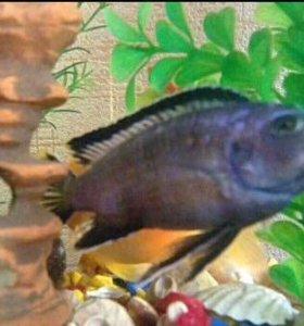 Рыбка аквариумная