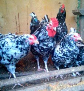 Цыплята и Яйцо