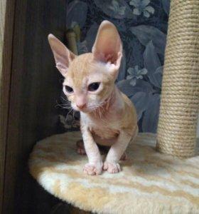 Донской сфинкс-котята