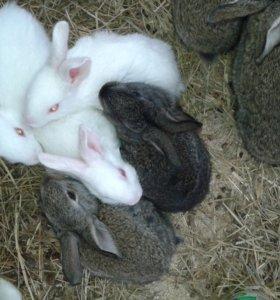 Продаю крольчат мясной породы