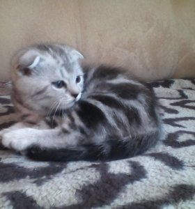 Котята от 2500,вязка с котом 1500