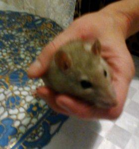 Крыс декаративный