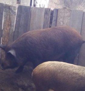Свинаматка