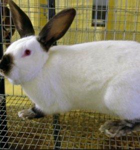 Кролик колифорниец