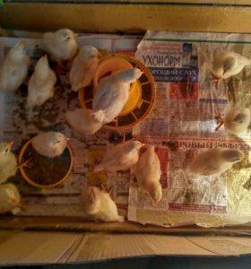 цыплята породы Хайсекс Уайт ,цена договорная