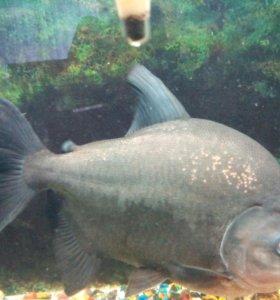 Рыба в аквариум. Паку