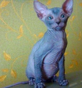 Котёнок породы Донской сфинкс.