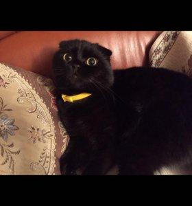 Шоколадный вислоухий котик