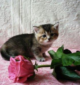 Продаются котята британской золотой шиншиллы