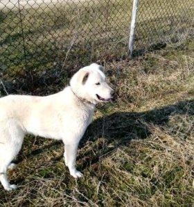 Продается зверь! Горная Пиренейская собака.