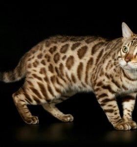 Бенгальский кот вязка.