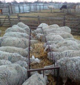 Овцы. Матки с ягнятами