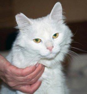 Винтер, белоснежный пушистый кот. 1г.