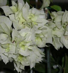 Бугенвилии (комнатные цветы)