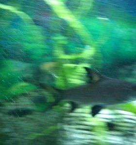 Акулий Бала  ( барбус )