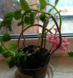 Цветущее комнатное растение. Каланхоэ.