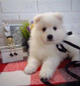Японский шпиц щенок, девочка