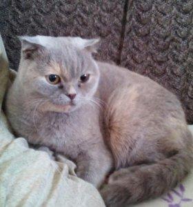 Шотландская кошечка ищет себе кота на вязку