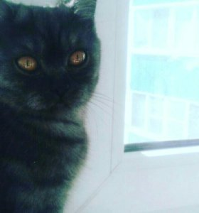 Кошечка британка за символическую сумму