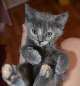 Отдам котят!!! Мама голубая русская..