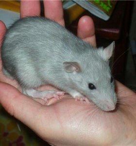 Ваш крысенок-девочка