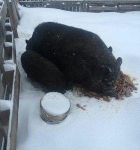Свиньи вся семья за 8.000т.р
