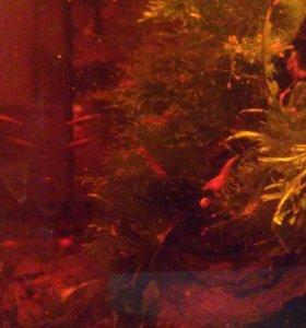Вишневые креветки