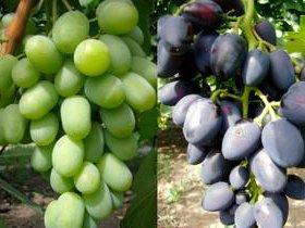 Виноград. Элитные сорта